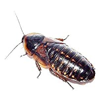 Live Dubia Roaches for Feeding Reptiles (10, Adult Male) by Blaptica dubia