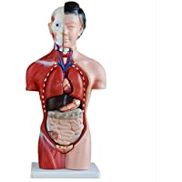 Female Torso Anatomy Model, Torso, Head, Brain, Lungs, Heart, Stomach, Liver, for Teaching Demonstration, Medical Experiment