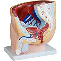 Male sagittal Anatomical Model of The Pelvis, Showing The Normal Position of The Male reproductive Organs and Bladder and Rectum in The Pelvis, for Teaching demonstrations, Medical Experiments