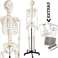 Axis Scientific Human Skeleton Model Anatomy Bundle, 5' 6